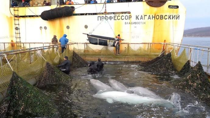 Погрузка последней группы белух из «китовой тюрьмы» в Приморье