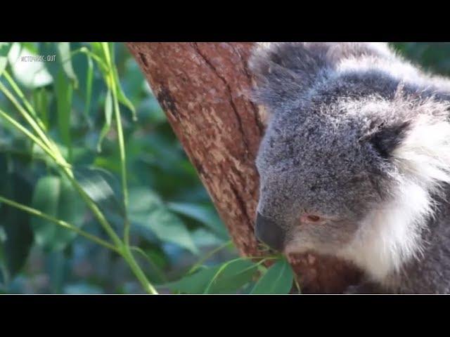 В Австралии разработчики «научили» беспилотники считать коал