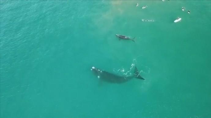 В Австралии самка кита сбила хвостом сёрферов, подплывших слишком близко к её детёнышу