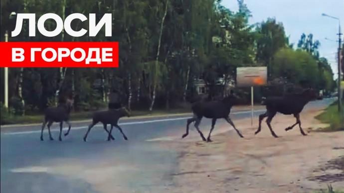 Стадо лосей пробежало по окраине Твери — видео