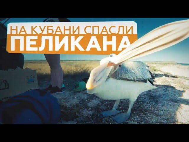 Бублик на воле: пеликана вернули к сородичам после курса реабилитации