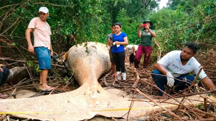 Огромный Кит Загадочным Образом Оказался в Джунглях Амазонки