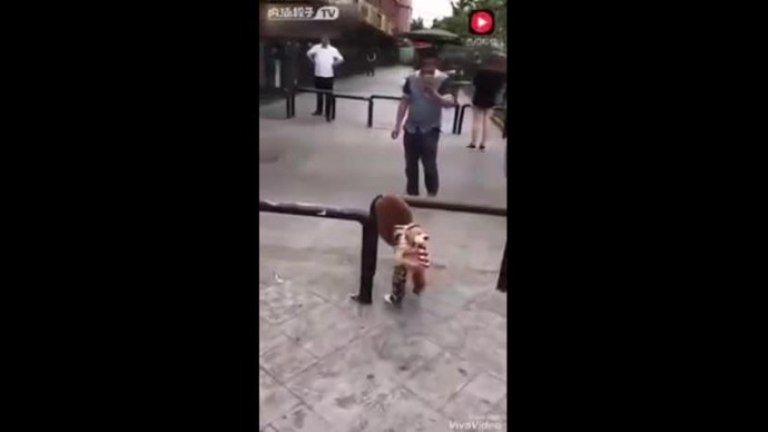Собачка ходит как человек на задних лапах - YouTube