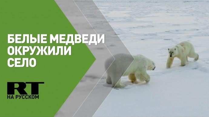 Более 50 белых медведей окружили село на Чукотке